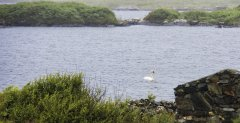 view from the kitchen as swan passes cottage in roundstone connemara